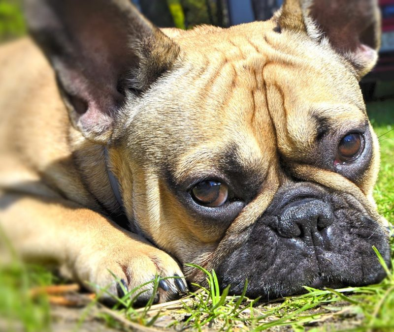 Brachycephalic dogs and cats – Caring Vets